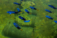 Regal Pacific blue Tang. In a farm, thailand Stock Images