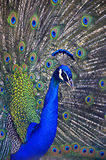 Regal Peacock. A beautiful royal blue and green peacock showing off his feathers stock photos