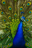 Regal Peacock. Male peacock showing off his feathers in masterful splendor stock images
