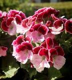 Regal Pelargonium geranium on the balcony royalty free stock photos