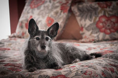 Regal pet. A m ixed terrier lhying on his masters bed Royalty Free Stock Image