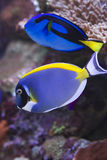 Regal & Powder Blue. Tang over coral reef Royalty Free Stock Photos