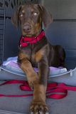 Regal Puppy. Doberman puppy sitting in her crate and behaving Stock Photos