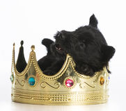 Regal puppy Royalty Free Stock Photo