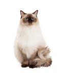 Regal Ragdoll Cat Sitting. A regal looking Ragdoll Cat sitting and looking into the camera Stock Photos