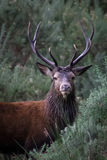 Regal Red Stag. In West Coast scrubland Royalty Free Stock Photo