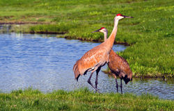 Regal sand-hill cranes Stock Photo