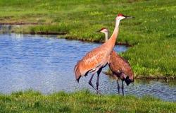 Regal sand-hill cranes Stock Photo