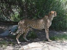 Regal Sleek Cheetah Standing on a Flat Rock. Sleek cheetah standing regally on a flat rock royalty free stock photography