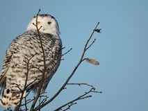 Snowy Owl Peaking past a branch at the top of a Tree Stock Images