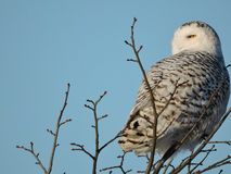 Snowy Owl  at the top of a Tree Gazing Royalty Free Stock Images