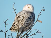 Snowy Owl at the top of a Tree Royalty Free Stock Images