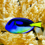 Regal tang. Blue regal tang fish in tropical aquarium Royalty Free Stock Photo