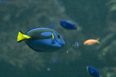 Regal Tang. A blue, black and yellow fish-surgeon or blue regal tang (paracanthurus hepatus) over blue. The same fish represented Dora in Nemo movie Royalty Free Stock Image