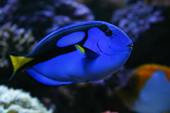 Regal Tang. Fish Royalty Free Stock Image