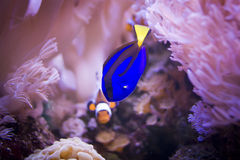 Regal tang and clownfish Stock Photography