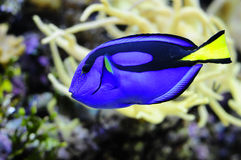 Regal Tang fish Royalty Free Stock Photography