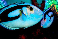 Regal Tang Fish. Tropical fish in a salt water aquarium under water stock image