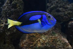 Regal Tang - Paracanthurus hepatus Royalty Free Stock Image