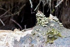 Regal vermehrt sich auf verfallenden Holz gefallenen toten Baum explosionsartig lizenzfreie stockbilder