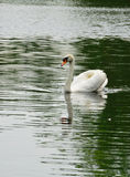 Regal White Swan Royalty Free Stock Images