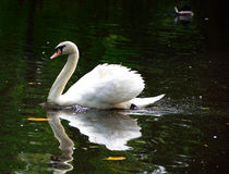 Regal White Swan Royalty Free Stock Photography
