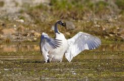 The Regal Wing Display of a Trumpeter Swan stock photos