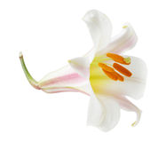 Regale Trumpet Lilium Royalty Free Stock Image
