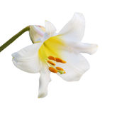 Regale Trumpet Lily Stock Photos