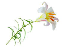 Regale Trumpet Lily Royalty Free Stock Photography