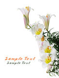 Regale Trumpet Lily Stock Photography