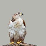 鵟鸟regalis 库存照片