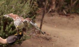 Regalis ferruginosos de Hawk Buteo que vuelan Fotos de archivo libres de regalías