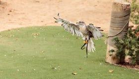 Regalis ferruginosos de Hawk Buteo que vuelan Imagen de archivo libre de regalías
