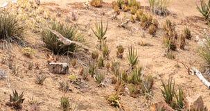 Regalis ferruginosos de Hawk Buteo que vuelan Foto de archivo libre de regalías