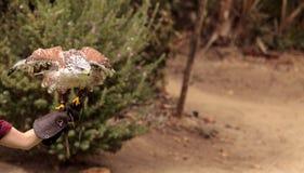 Regalis ferruginosos de Hawk Buteo que vuelan Fotografía de archivo
