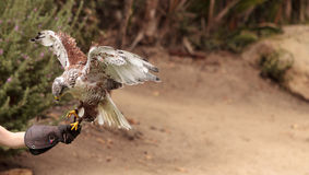 Regalis ferruginosos de Hawk Buteo que vuelan Imagen de archivo
