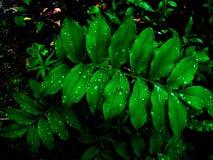 Regalis Osmunda gracilis Стоковое Изображение