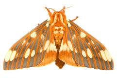 Regalis reales de Citheronia de la polilla Imagen de archivo