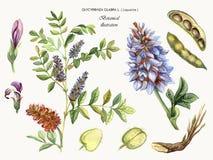 Regaliz de la planta medicinal Imagen de archivo libre de regalías