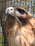 Regally Posed Red-Tailed Hawk Royalty Free Stock Photography