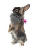 Regalo 2 del coniglio del leone Fotografia Stock Libera da Diritti