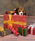Regalo de la Navidad del perrito del beagle Foto de archivo libre de regalías