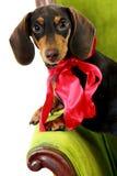 Regalo del cane Fotografia Stock