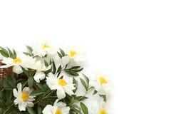 Regalo hermoso - peonías blancas con las hojas verdes Fotos de archivo libres de regalías