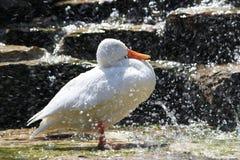 Regando a cisne Fotos de Stock Royalty Free