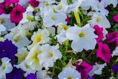 Regard étroit de pleines fleurs de beauté Image libre de droits