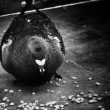 Regard artistique de petit déjeuner de pigeon en noir et blanc Photographie stock libre de droits