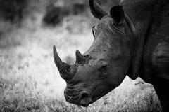 Regard blanc de rhinocéros Images libres de droits