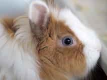 regard Bleu-gris d'un petit lapin nain tricolore photos libres de droits